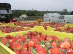 Fresh strawberries at Greens Berry Farm Gorey, Wexford, Ireland, Irish Fruit Farm