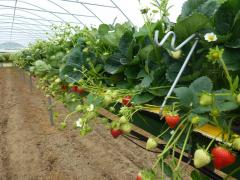 Californian Strawberry Variety Triumph at Greens Berry Farm Gorey, Wexford, Ireland, Irish Fruit Farm
