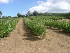 Gooseberry Crop at Greens Berry Farm Gorey, Wexford, Ireland, Irish Fruit Farm