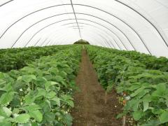 Protected cropping at Greens Berry Farm Gorey, Wexford, Ireland, Irish Fruit Farm