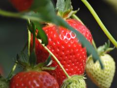greens-berry-farm-wexford-strawberries-growing-2