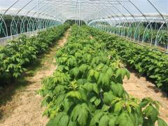 Newly planted Autumn Raspberries, Greens Berry Farm Wexford Ireland