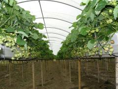 Spanish Tunnels at Greens Berry Farm Gorey, Wexford, Ireland, Irish Fruit Farm