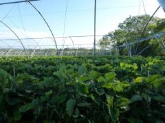 Tunnel Production of Irish Fruit Summer 2011 at Greens Berry Farm Gorey, Wexford, Ireland, Irish Fruit Farm