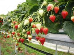 Variety Premier Irish Strawberries at Greens Berry Farm Gorey, Wexford, Ireland, Irish Fruit Farm