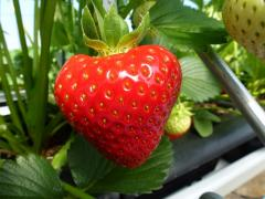 Irish Strawberries at our irish strawberries fruit farm ireland