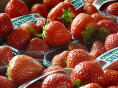 Tasty Glossy Sonata Strawberries at Greens Berry Farm Gorey, Wexford, Ireland, Irish Fruit Farm