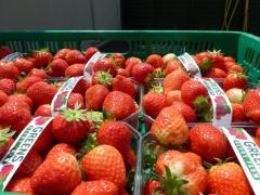 Irish Fruit Fresh Wexford Strawberries Elsanta Greens Berry Farm Gorey Wexford Ireland