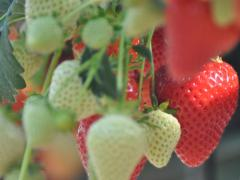 greens-berry-farm-wexford-strawberries-growing-3