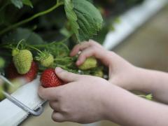 Fruit Farm Picking Fresh Wexford Irish Strawberries at Greens Berry Farm Gorey Wexford Ireland