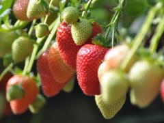greens-berry-farm-wexford-strawberries-growing