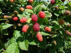 Tayberries at Greens Berry Farm Gorey Wexford Ireland Fruit Farm