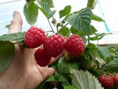 Raspberry Glen Ample for sale in our irish fruit farm ireland