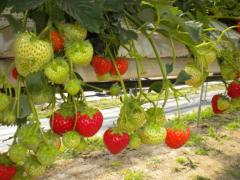 Elegance Fruit strawberry plants summer 2011 at Greens Berry Farm Gorey, Wexford, Ireland, Irish Fruit Farm