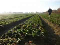 Next Years Strawberry Plants at Greens Berry Farm Gorey, Wexford, Ireland, Irish Fruit Farm
