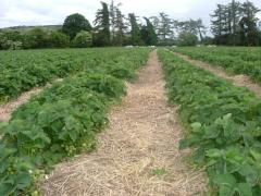 Strawberry Crop at Greens Berry Farm Gorey, Wexford, Ireland, Irish Fruit Farm