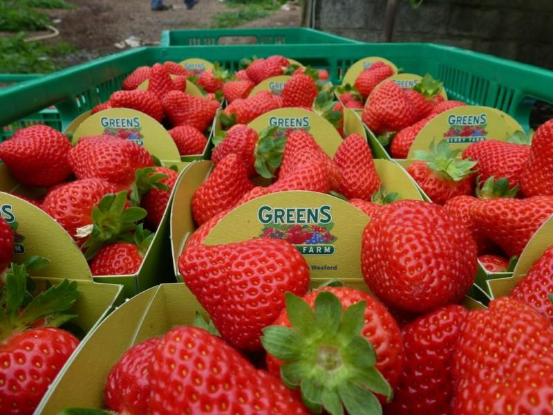 Variety Capri Wexford Strawberries for sale at our Greens Berry Farm Wexford Ireland