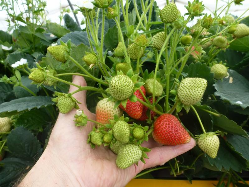 Supermarket Strawberries at Greens Berry Farm Gorey, Wexford, Ireland, Irish Fruit Farm