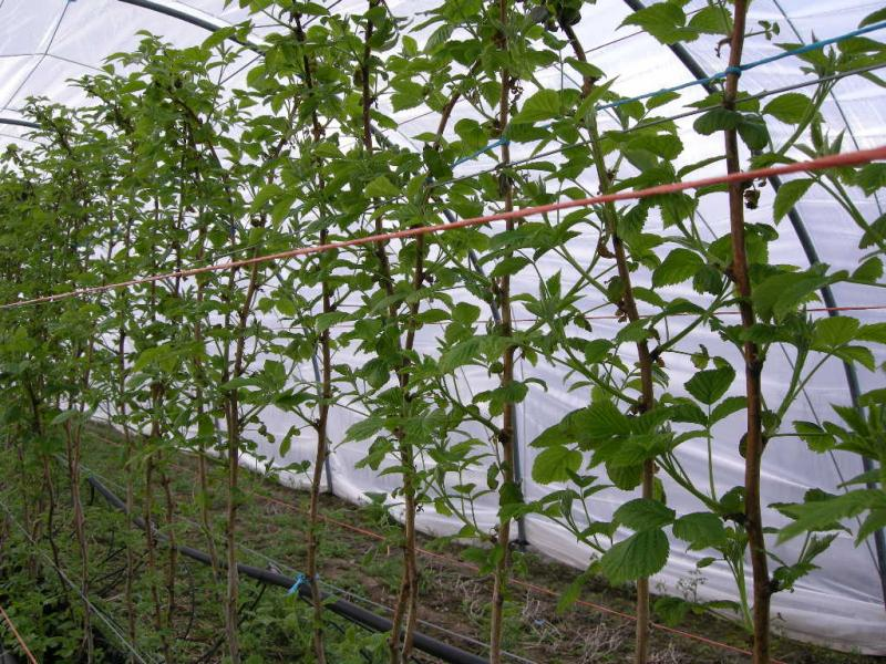 Raspberries at Greens Berry Farm Gorey, Wexford, Ireland, Irish Fruit Farm