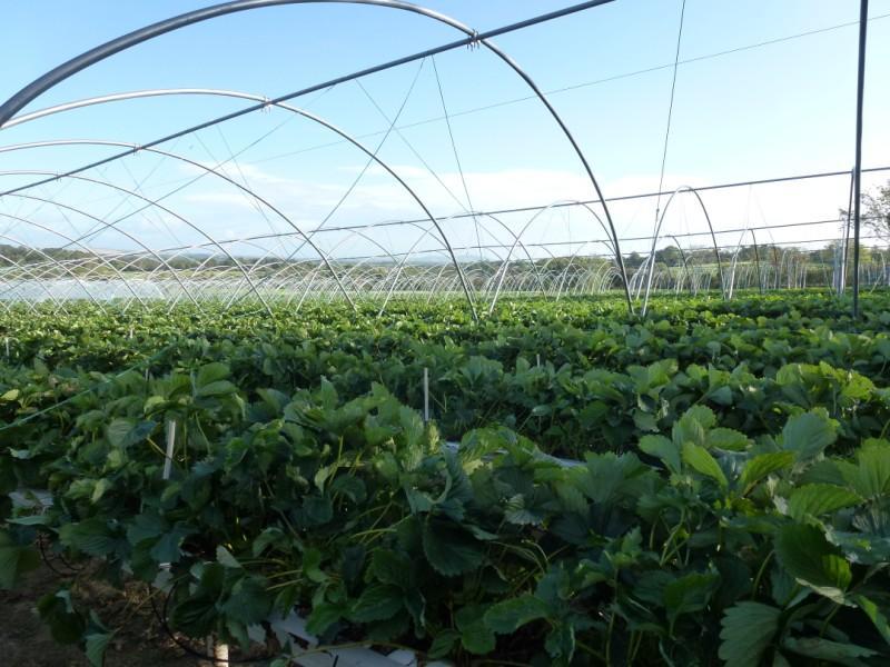 Tunnel Production of Irish Strawberries, Summer 2011 Greens Berry Farm Gorey, Wexford, Ireland, Irish Fruit Farm