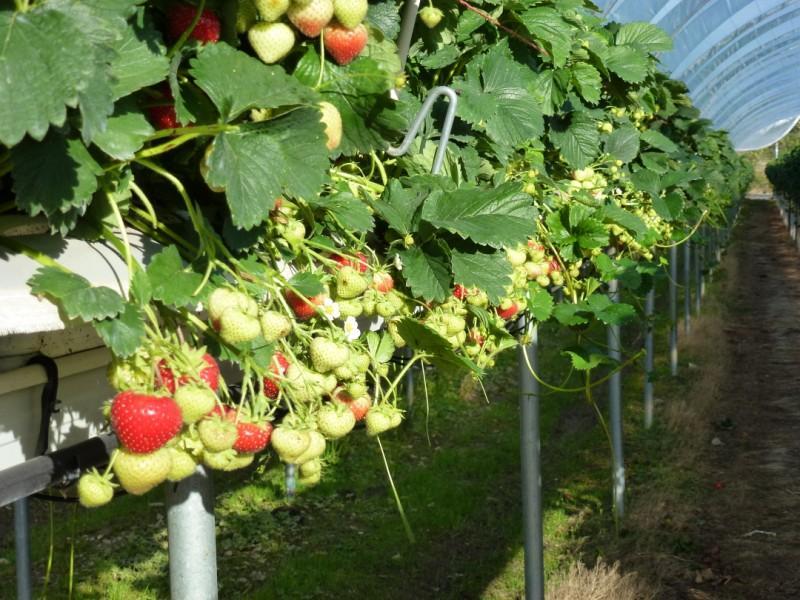 Tunnel Production of Irish Strawberries Summer 2011 at Greens Berry Farm Gorey, Wexford, Ireland, Irish Fruit Farm
