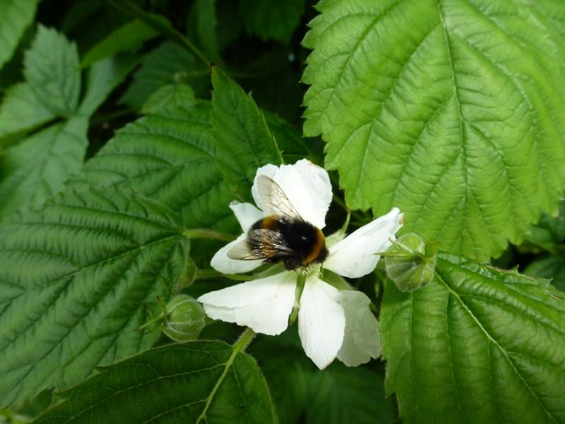 Wexford Strawberries Busy Bee Irish Fruit Farm at Greens Berry Farm Gorey Wexford Ireland