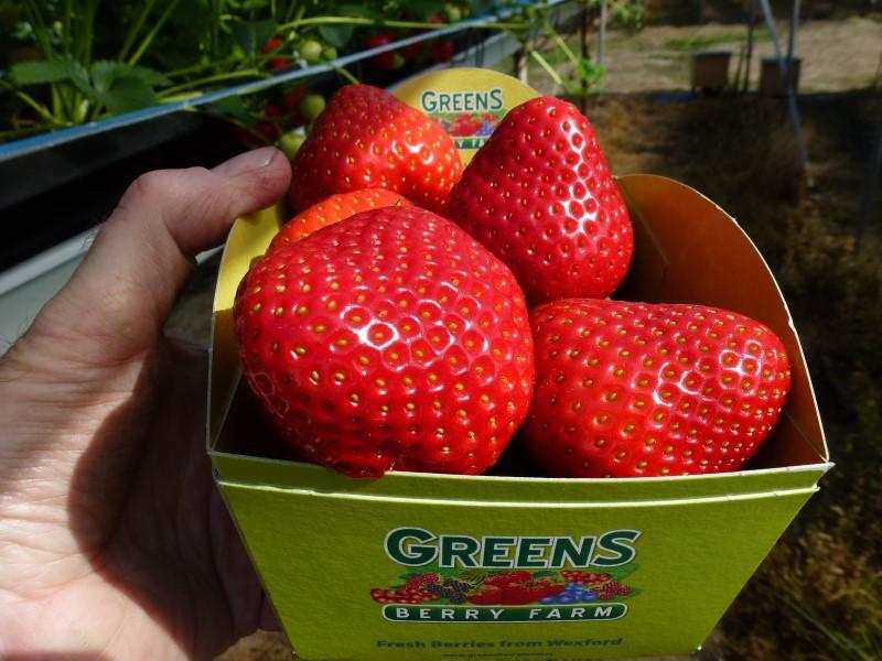 Sweet Strawberries at our irish fruit farm Gorey Wexford Ireland