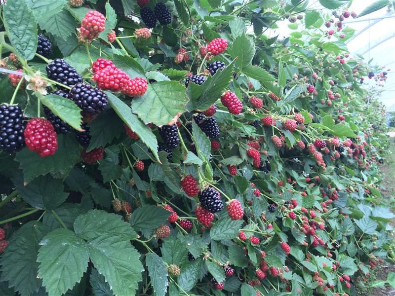 Loch Ness Blackberry, Irish Fruit Farm