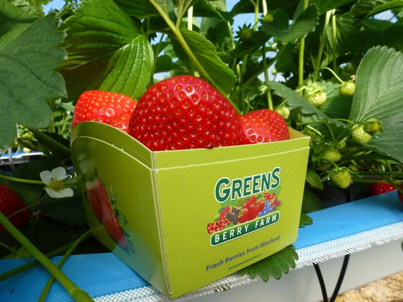 Recyclable Paper Pack Irish Strawberries at Greens Berry Fruit Farm Gorey Wexford Ireland