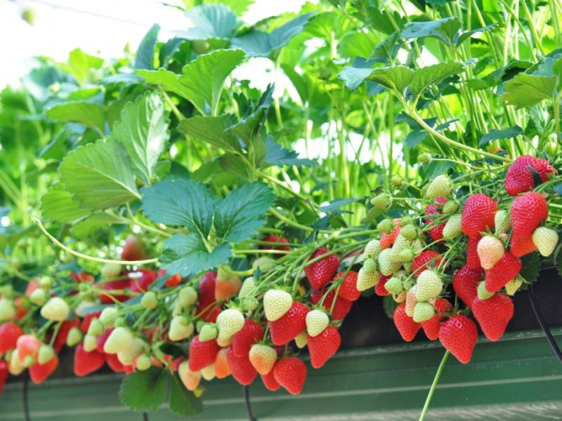 Delicious Strawberries ready to pick