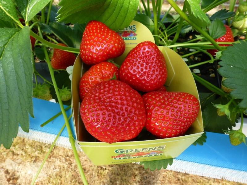 Wexford Strawberries at our irish fruit farm gorey wexford ireland