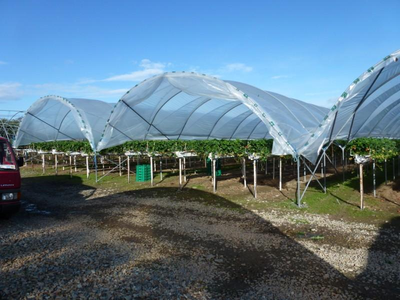 Tunnel Production Summer 2011 Greens Berry Farm Gorey Wexford