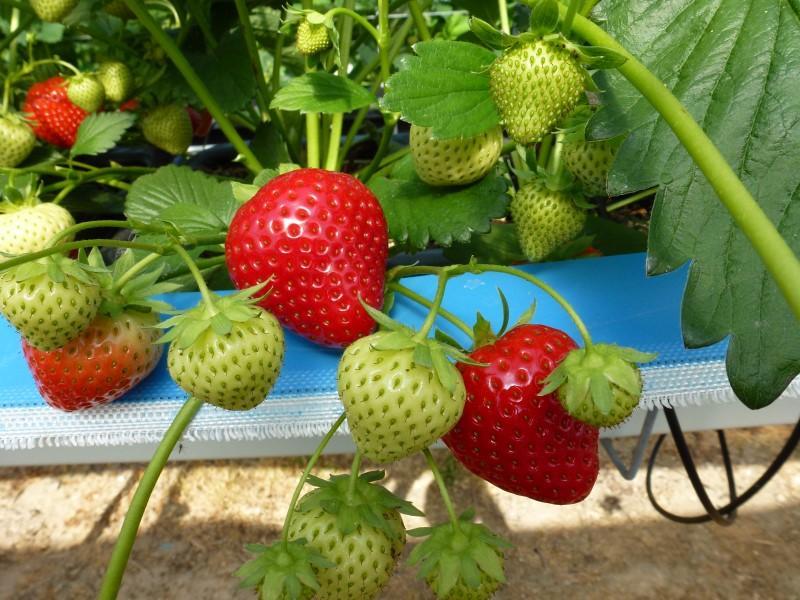 Rumba Trial Irish Fruit Strawberries at our Fruit Farm Gorey Wexford Ireland