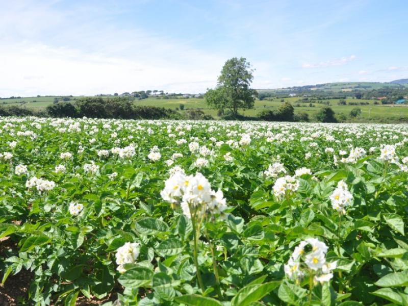 Early Potatoes In Flower at Greens Berry Farm Gorey, Wexford, Ireland, Irish Fruit Farm