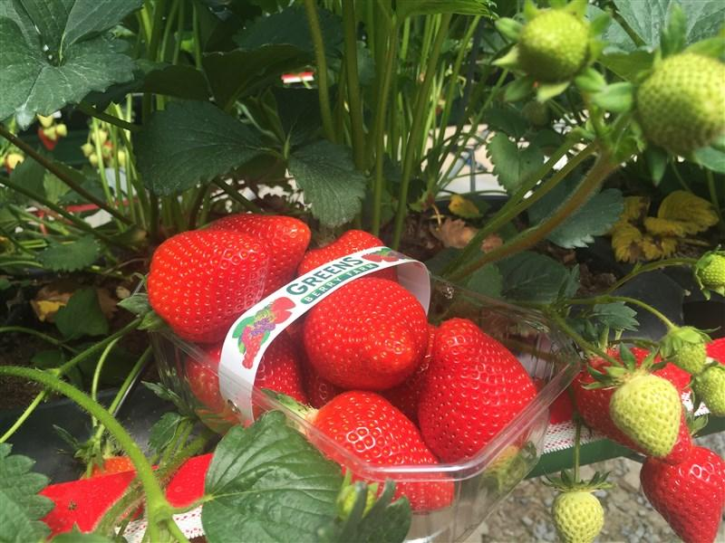 First pick of 2016, Wexford Strawberries