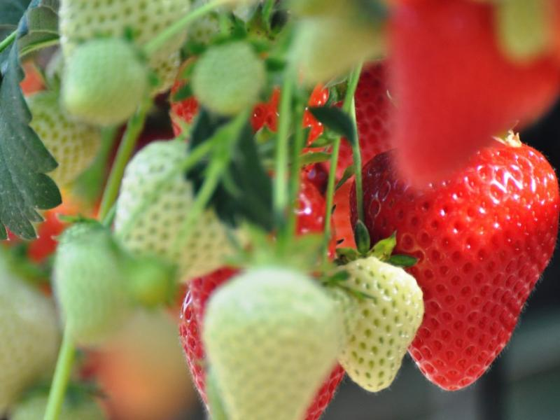 Perfect Strawberry