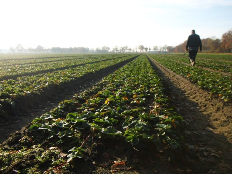 Next Years Strawberry Plants at Greens Berry Farm Gorey, Wexford, Ireland, Irish Fruit Farm
