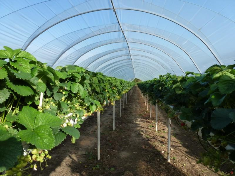 Tunnel Production of Irish Fruit Summer 2011 at Greens Berry Farm Gorey, Wexford, Ireland, Irish Fruit Farm
