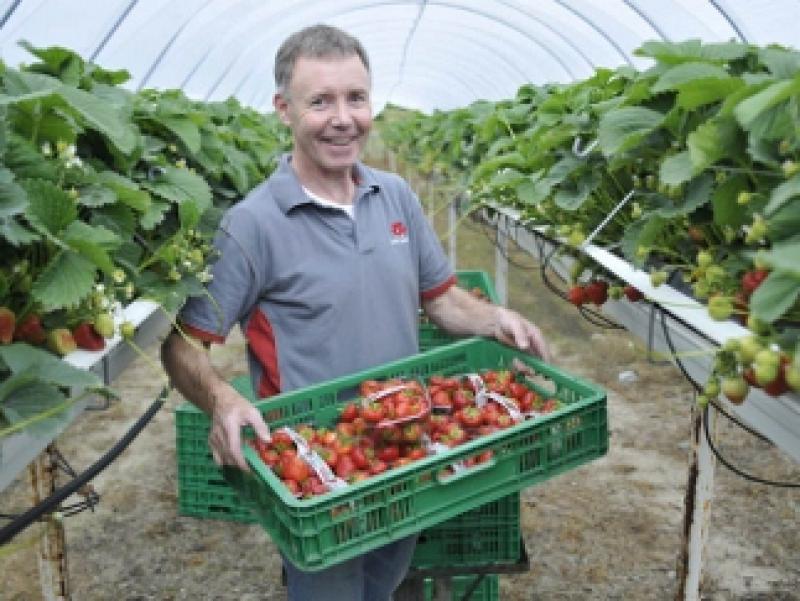 John Greene Picking Fresh Wexford Strawberries At His Irish Fruit Farm Gorey Wexford Ireland