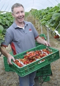John Green Picking Fresh Wexford Strawberries at his Fruit Farm Gorey Wexford