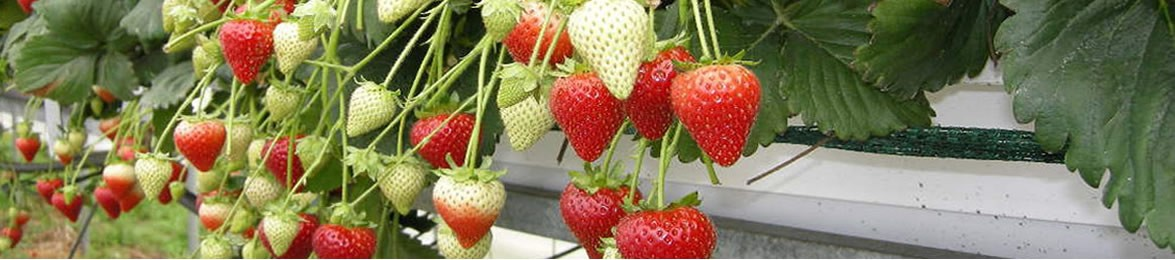 Wexford Strawberries - Variety Premier