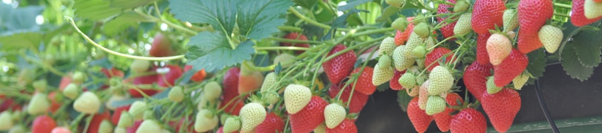 Wexford Strawberries Growing at Greens Berry Farm