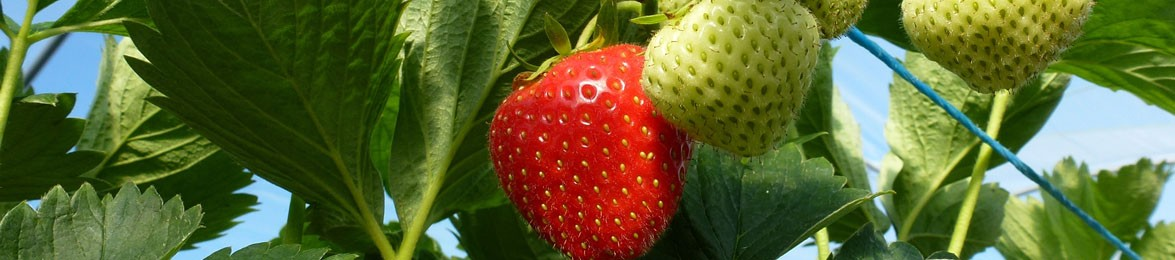 Wexford Strawberry Growing at our Fruit Farm, Gorey, Co. Wexford